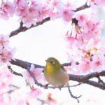上野恩賜公園の桜2018!開花状況や見ごろとライトアップはいつから?