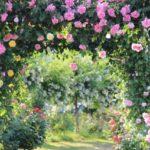 旧古河庭園のバラ2019春☆開花状況や見頃はいつ?ライトアップ時間は何時まで?