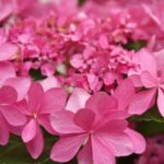 母の日はあじさいが素敵!花言葉が怖い?白,青,紫,ピンクの良い意味悪い意味は?