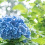 明月院の紫陽花2019開花状況や種類と見頃いつまで?混雑時の待ち時間は?